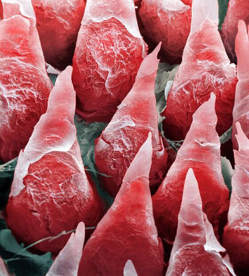 human tongue